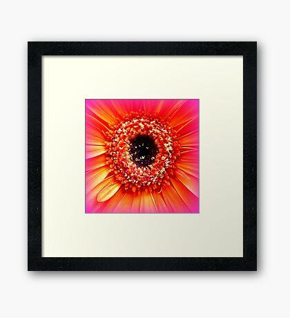 Gerbera in orange and pink Framed Print