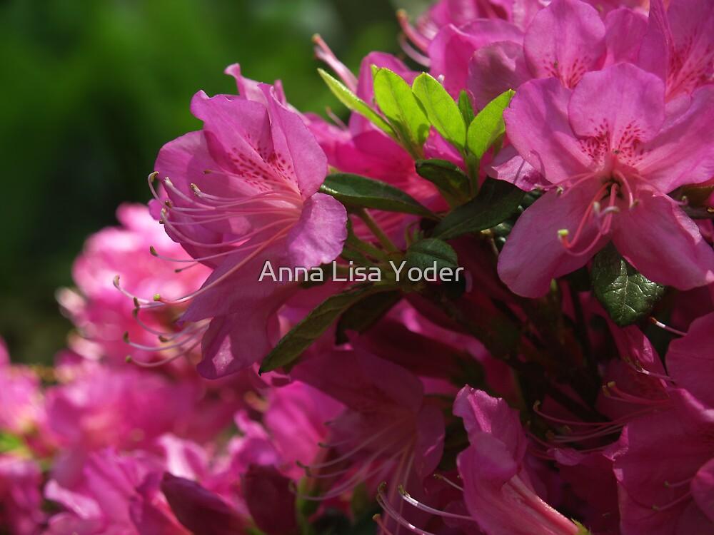 Fuchsia Azalea in Full Glory by Anna Lisa Yoder