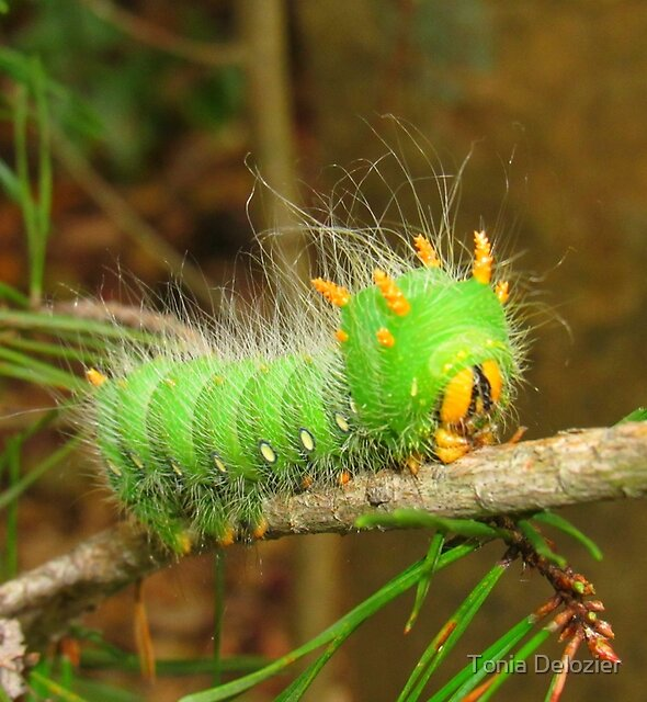 Imperial Moth Caterpillar 2 by Tonia Delozier