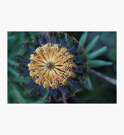 Banksia spinulosa Photographic Print
