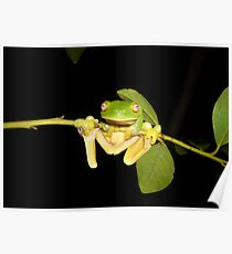 Red-Eyed Green Tree Frog, Litoria chloris Poster