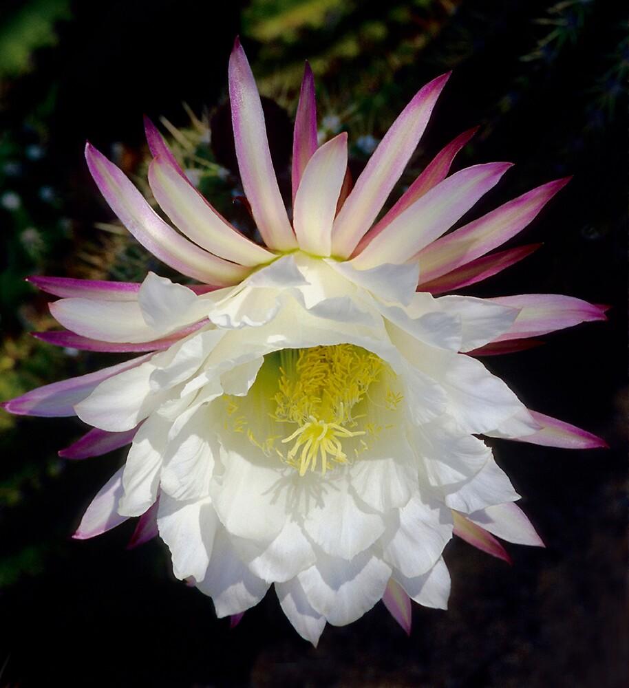 Trichocereus White Flower by Dency Kane