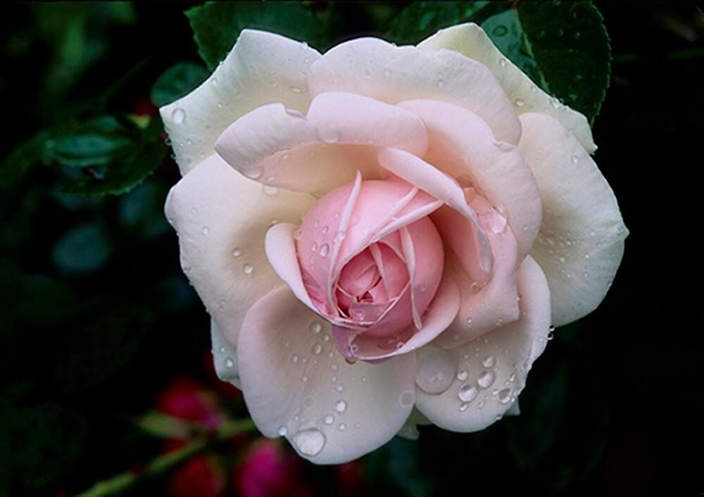 Climbing Rose 'Awakening' by Dency Kane