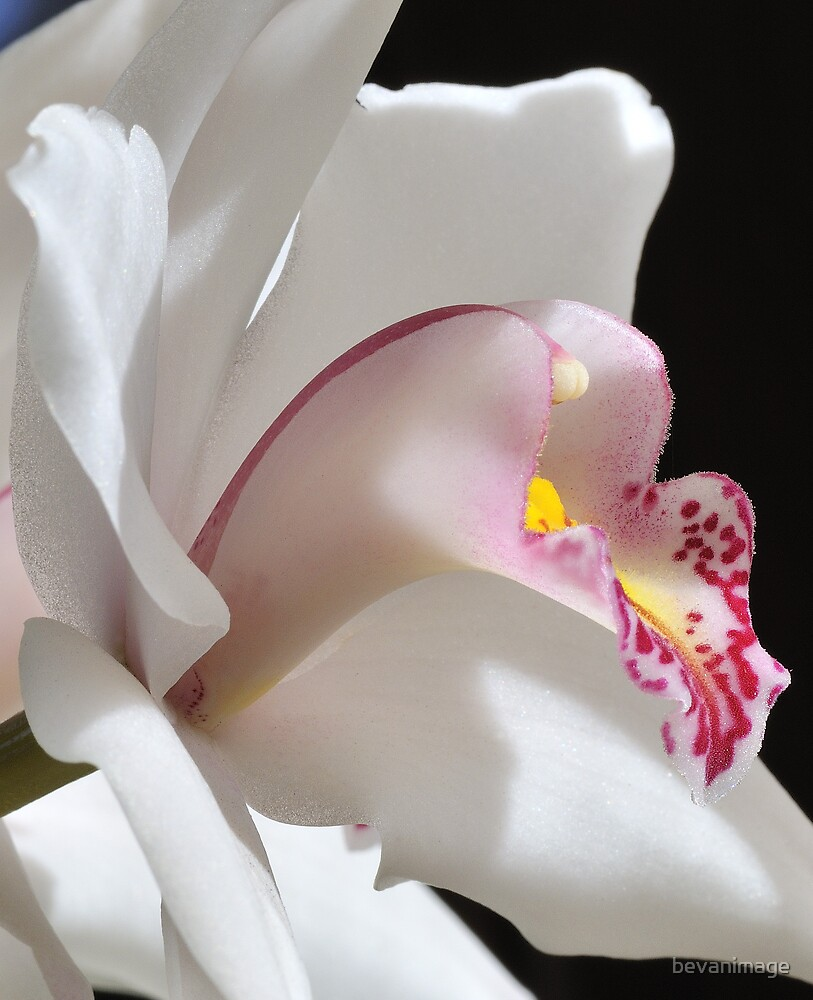 White orchid by bevanimage