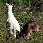 A 'Camera Shy' Albino Kangaroo by myraj