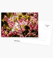 Pink Spring Blossoming Tree Postcards