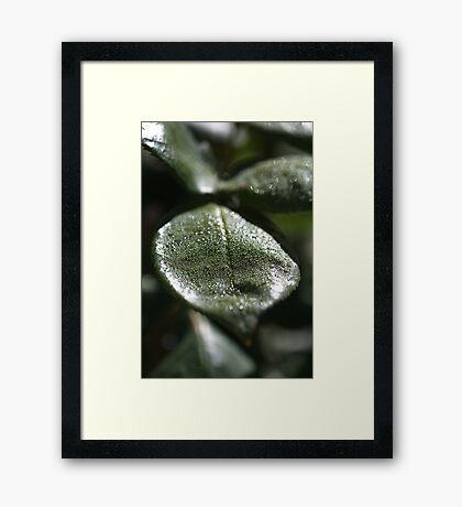 Morning Dew Rose Leaf Framed Print