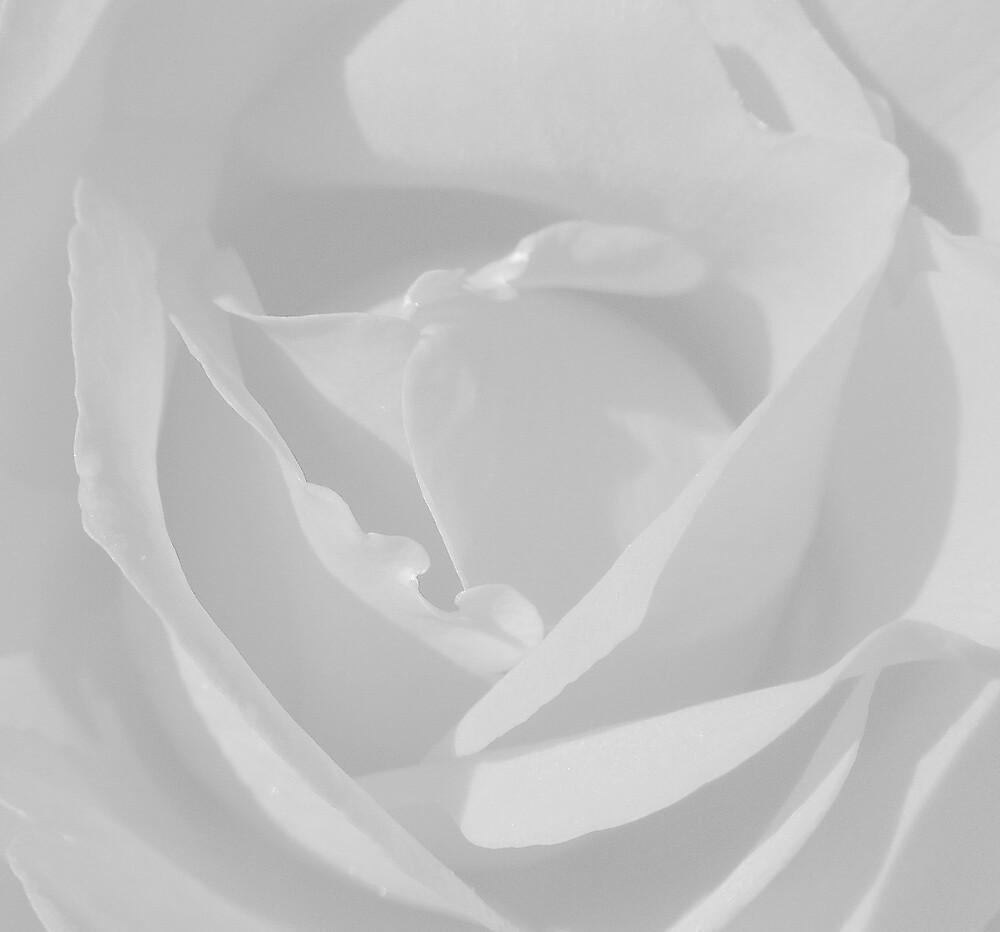 White Rose by Melissa Park