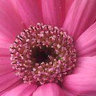 Pink Gerbera by FelicityB