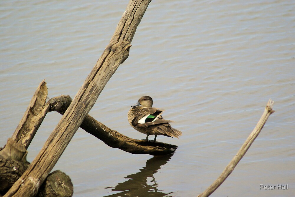 Sitting Duck by Peter Hall