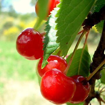 Wild Cherries by DickPountain