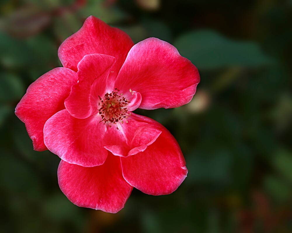 Old Fashion Rose by sherryk