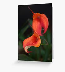 Orange Calla flower - Zantedeschia aethiopica Greeting Card