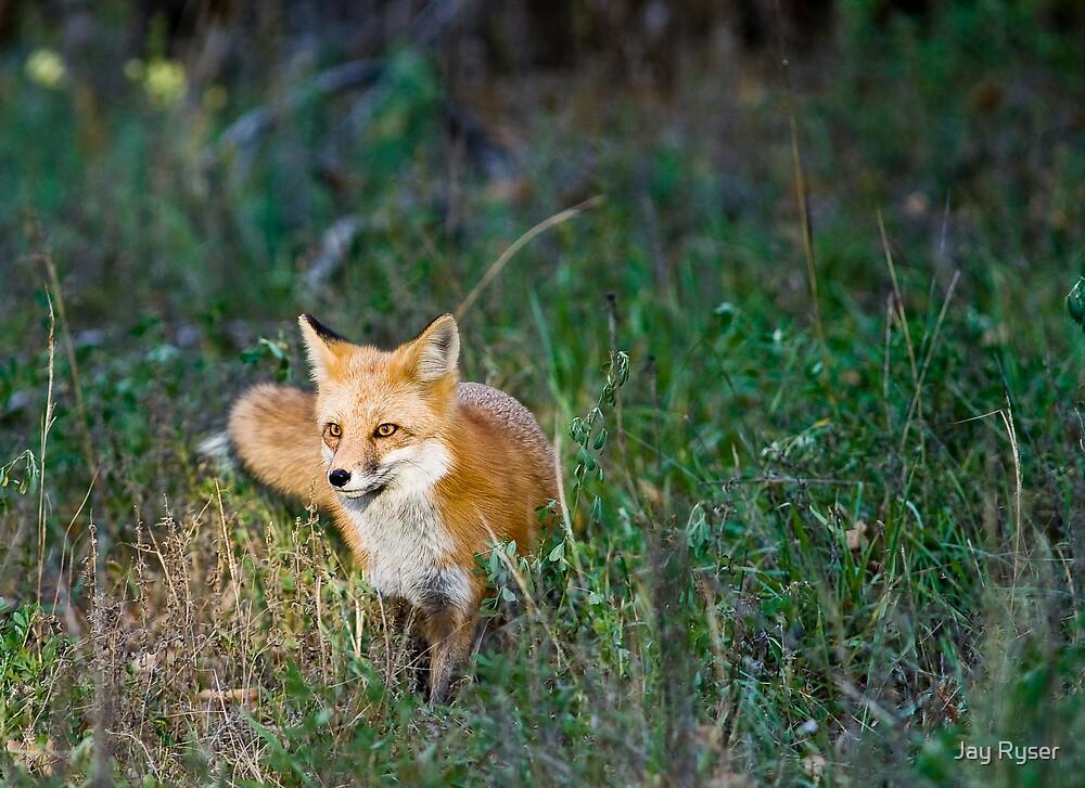 Fox in the Spotlight by Jay Ryser