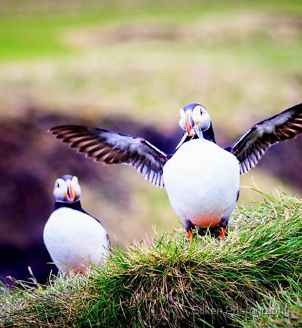 Proud Puffin by Silken Photography