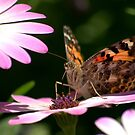 Painted Lady Butterfly by K D Graves Photography