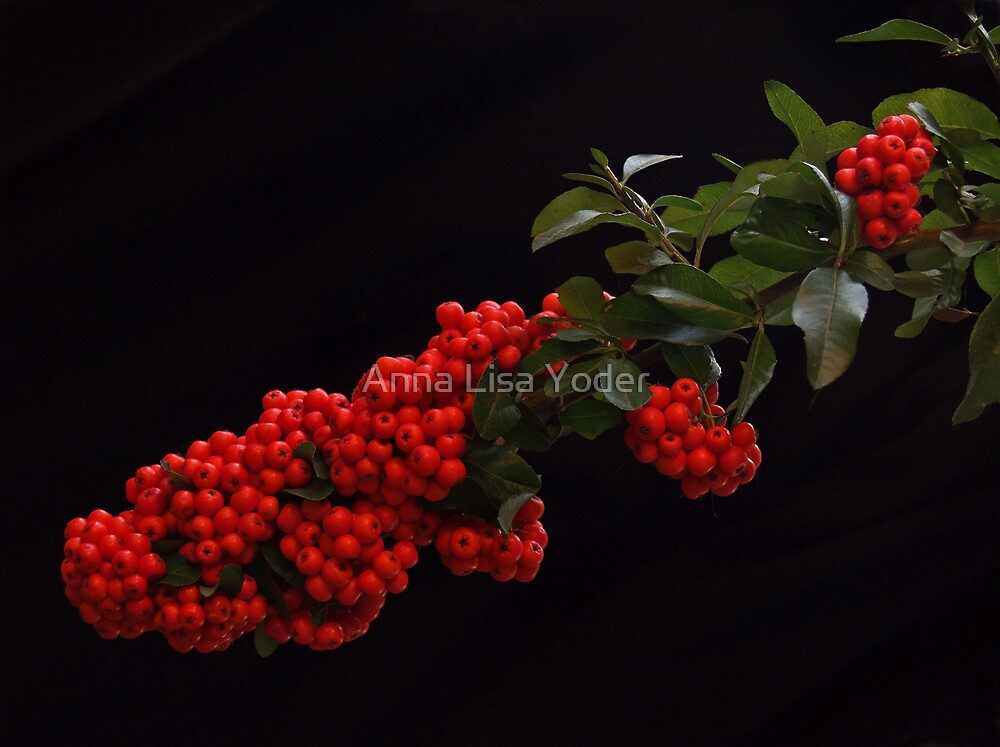 Pyracantha Stem on black  by Anna Lisa Yoder