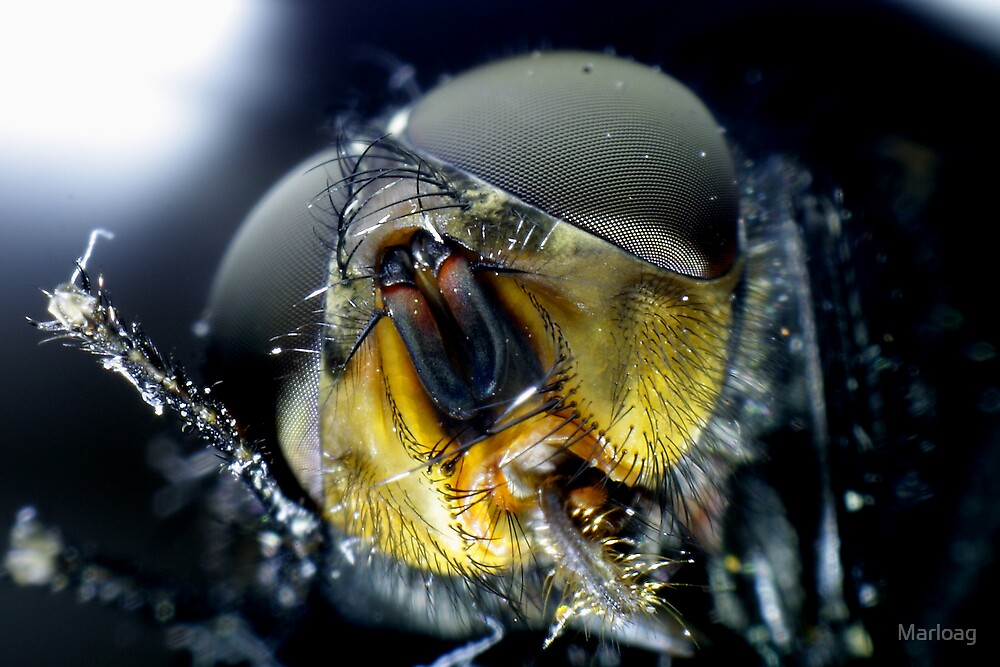 Face of a Fly by Marloag