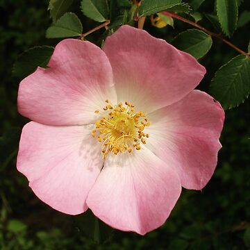 Wild Rose by DickPountain