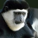 Portrait of a Colobus Monkey by JulieM