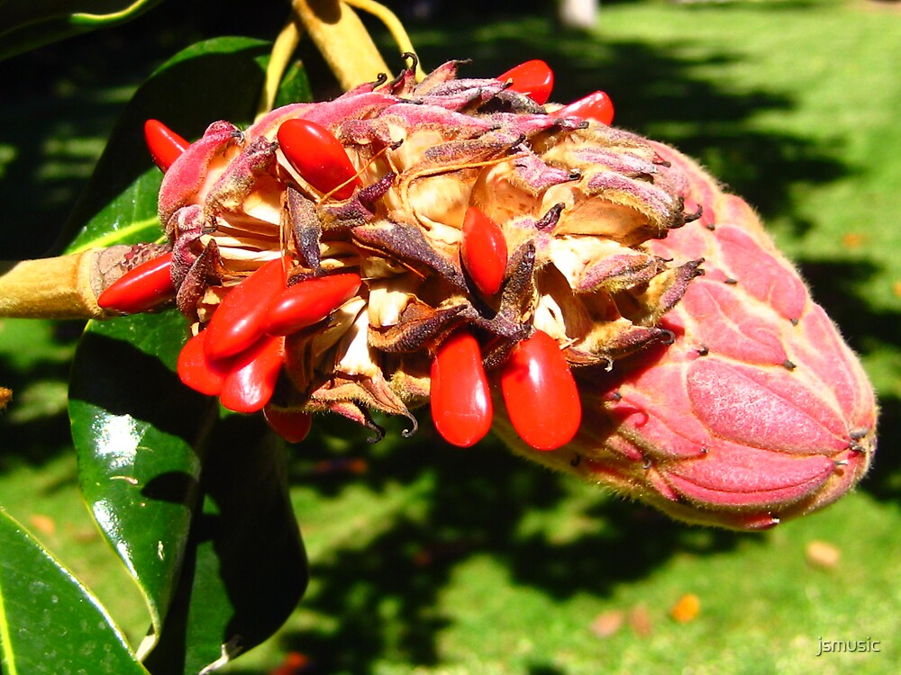 Magnolia berries by jsmusic