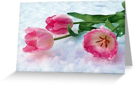 Tulips & Snow by Morag Bates