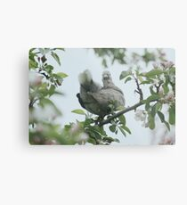 Baby collar dove in apple blossom Metal Print