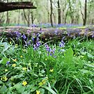 Bluebell wood in Cambridgeshire, England by Lizzy Doe