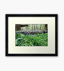 Bluebell wood in Cambridgeshire, England Framed Print