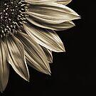 Sunflower by Scott Carr