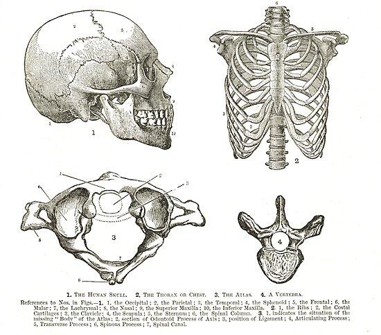 Human anatomy, 19th century diagrams, Human Skull, Thorax, The Atlas ...