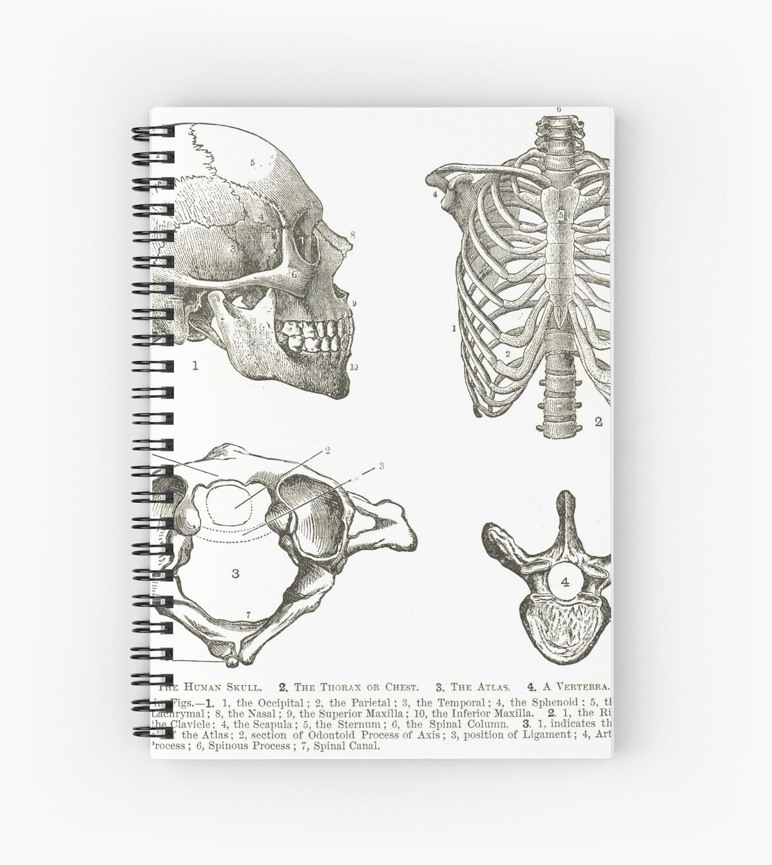 Human Anatomy 19th Century Diagrams Human Skull Thorax The Atlas