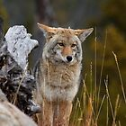 Mr.Wylie Coyote by Anibal