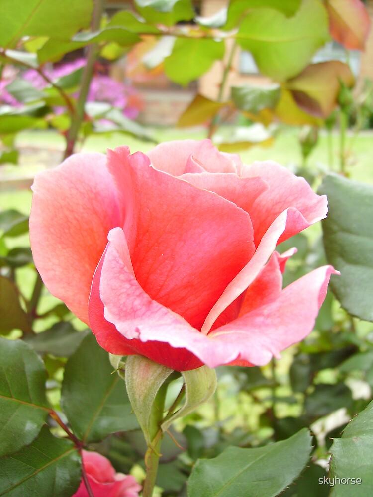 Rose in Lilydale #2 by skyhorse