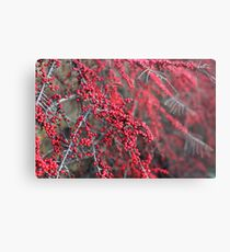 Red berries in Cambridgeshire, England Metal Print
