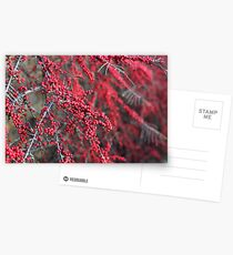 Red berries in Cambridgeshire, England Postcards