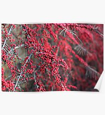 Red berries in Cambridgeshire, England Poster