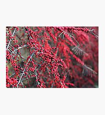 Red berries in Cambridgeshire, England Photographic Print