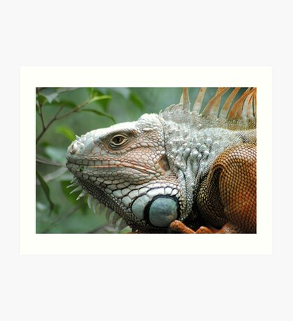 Close to the Iguana Art Print