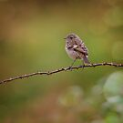 Female Stonechat by peaky40