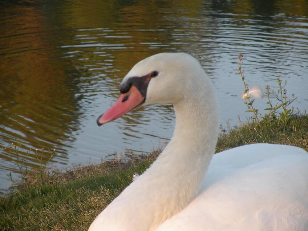 Swan restin' by Bonnie Pelton