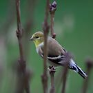 Lady Goldfinch by PrairieRose
