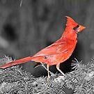 Mr. Cardinal Selective by hummingbirds