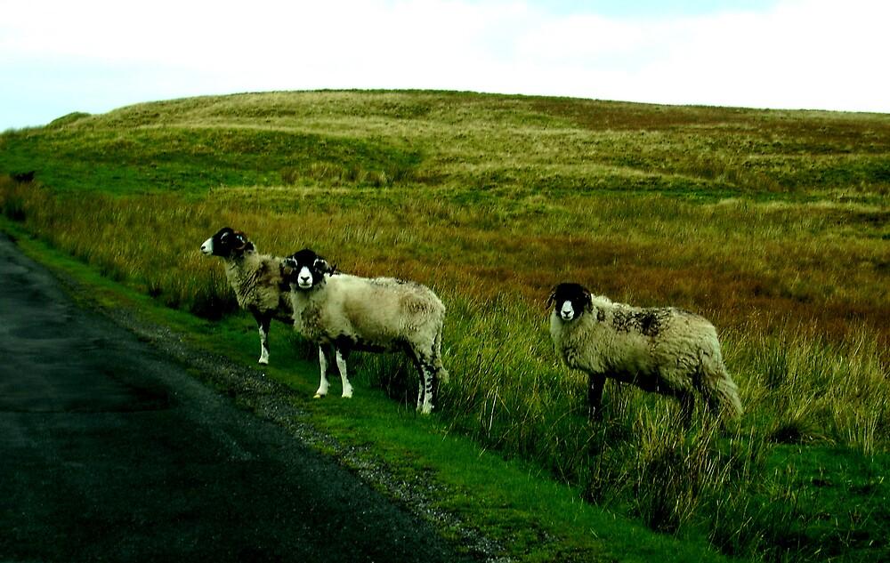 Yorkshire Sheep  by satsuma