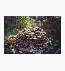 Woodland fairy mushrooms in Thetford forest, England Photographic Print
