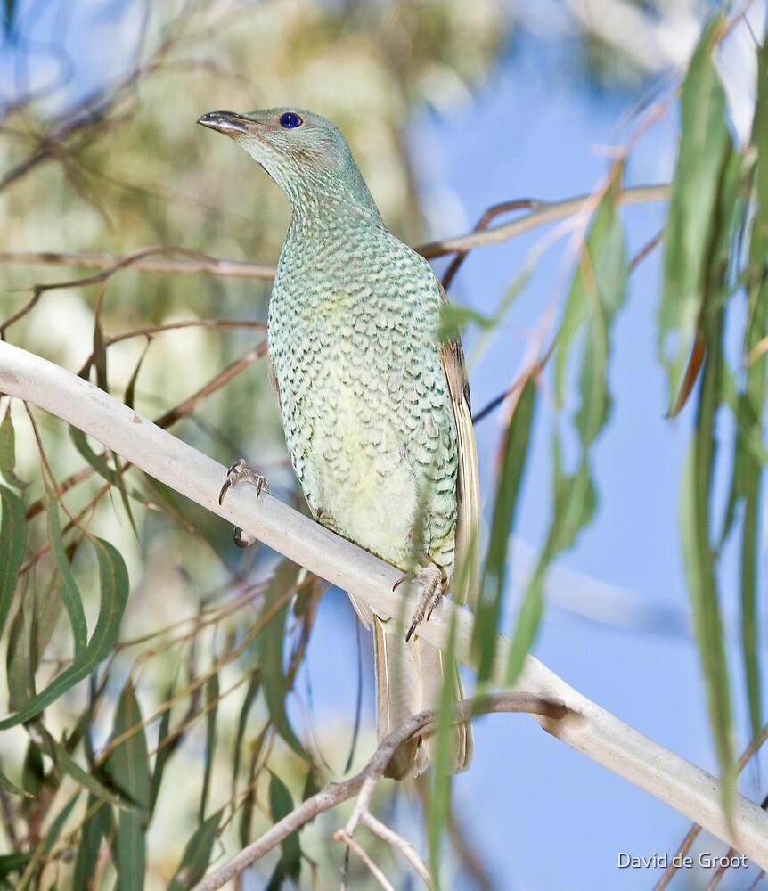 Female Satin Bowerbird by David de Groot