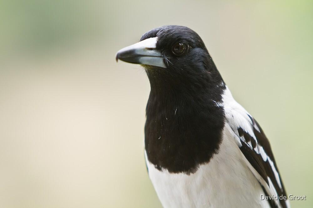 Pied Butcherbird by David de Groot