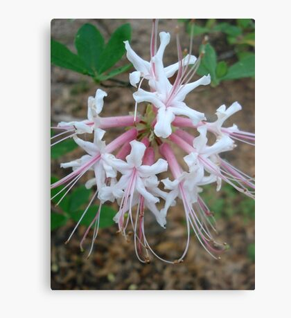 Swamp Azalea (Rhododendron viscosum) Metal Print