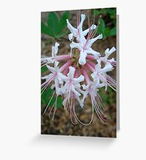 Swamp Azalea (Rhododendron viscosum) Greeting Card