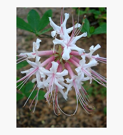 Swamp Azalea (Rhododendron viscosum) Photographic Print